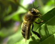 Populations of bees, butterflies and other pollinators are declining, posing potential risks to important world food crops (Photo: Brian McGill)