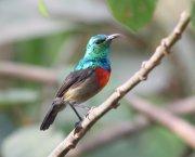A sunbird