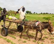 Stunted crops in the Kaffrine region of Senegal are the result of a lack of rainfall, jeopardising farmers' harvests (Photo: Daniella Van Leggelo-Padilla/World Bank, Creative Commons, via Flickr)