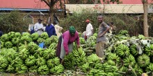 People standing between piles of bananas