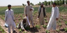 Afghan farmers and extension workers assess an okra field in Balkh Province, Northern Afghanistan (Photo: Barbara Adoph/IIED)