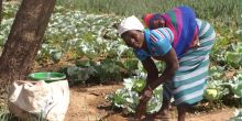 A woman using homemade compost in her garden in eastern Burkina Faso