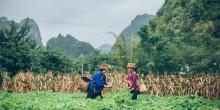 Two women harvest crops in a field