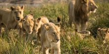 Lions on the move in the Okavango Delta, Botswana. While populations of lions have increased by 12% in four countries, including Botswana, studies show a 43% overall decline from 1993-2014 (Photo: Barrett, Creative Commons, via Flickr)