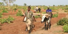 Oxen plough teams bring bigger fields and easier farmwork (Photo: Camilla Toulmin/IIED)