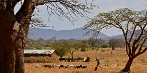 Drylands landscape with cattle in the background