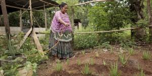 Woman waters aloe vera plants