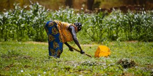A woman farmer bends over to tend crops in a field