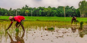 Two people planting rice.
