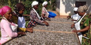 Women spreading fish on a drying rack