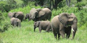 A herd of elephants (Photo: Sean Habig, Creative Commons, via Flickr)