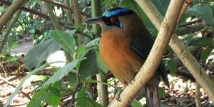 Motmot bird in Costa Rica