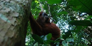 An orangutan swinging between trees