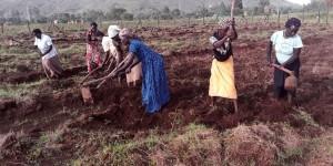 Women hoeing a field.