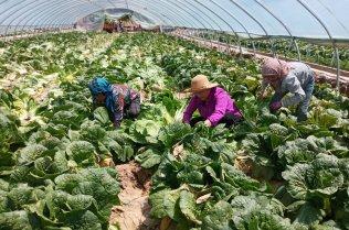 Women tending cabbages