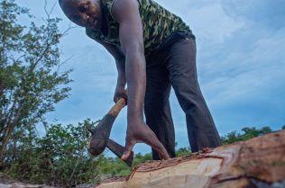 A logger debarks a mukula log