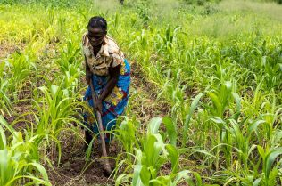 Joyce working her plot of young maize plants.