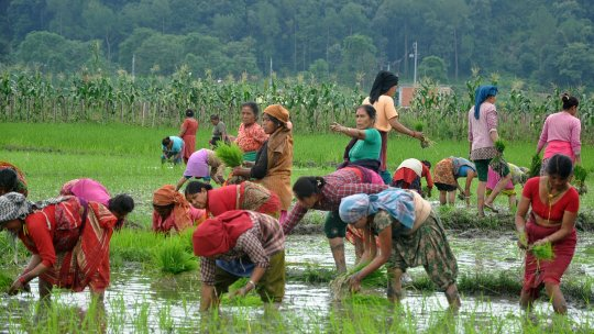 Women farmers bending over planting crops in a paddy field