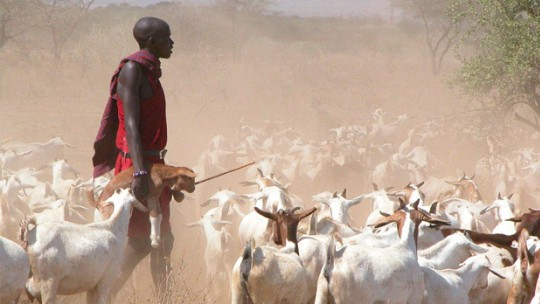 A man herds goats amid the dust